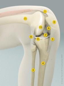 Knee Anatomy (Click to Enlarge)